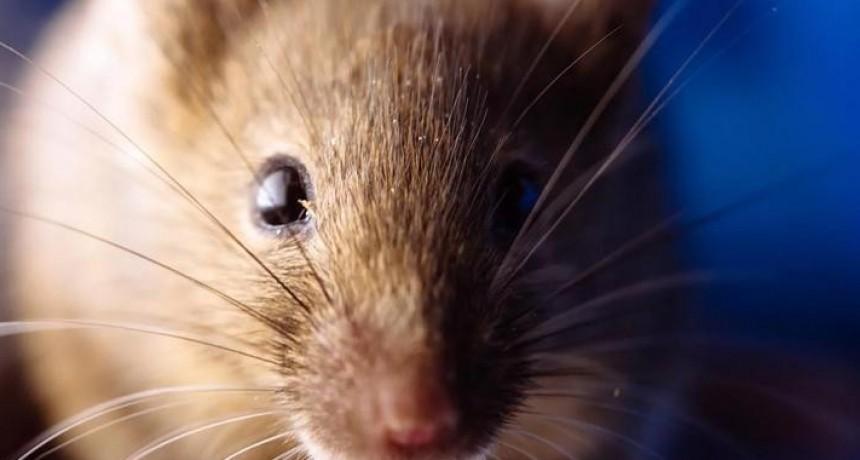 Hantavirus: el ratón macho contagia más que la hembra