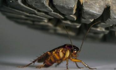 Por qué es tan difícil matar a una cucaracha