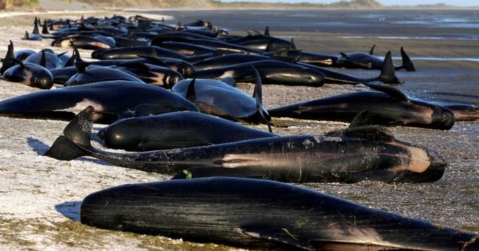 416 ballenas encallaron en playa de Nueva Zelanda