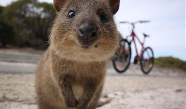 Quokka, el animal más feliz del mundo: conocelo