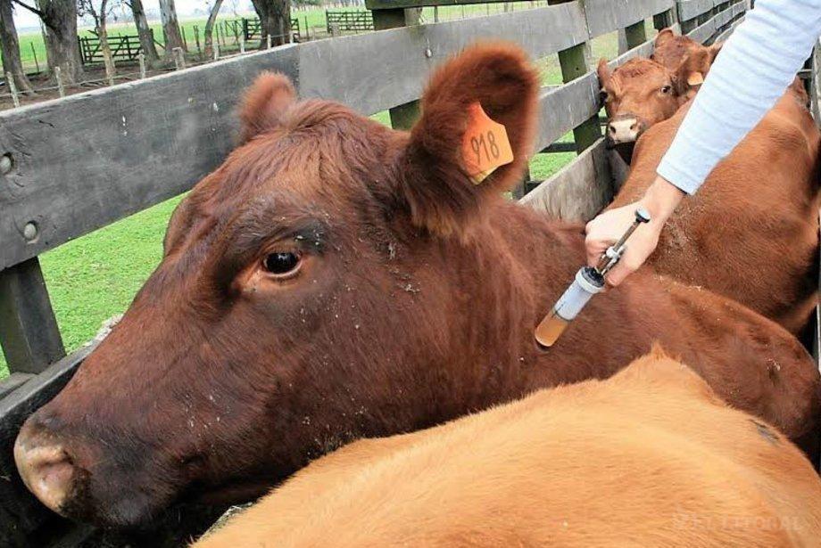Inician la campaña de vacunación contra la fiebre aftosa 2020