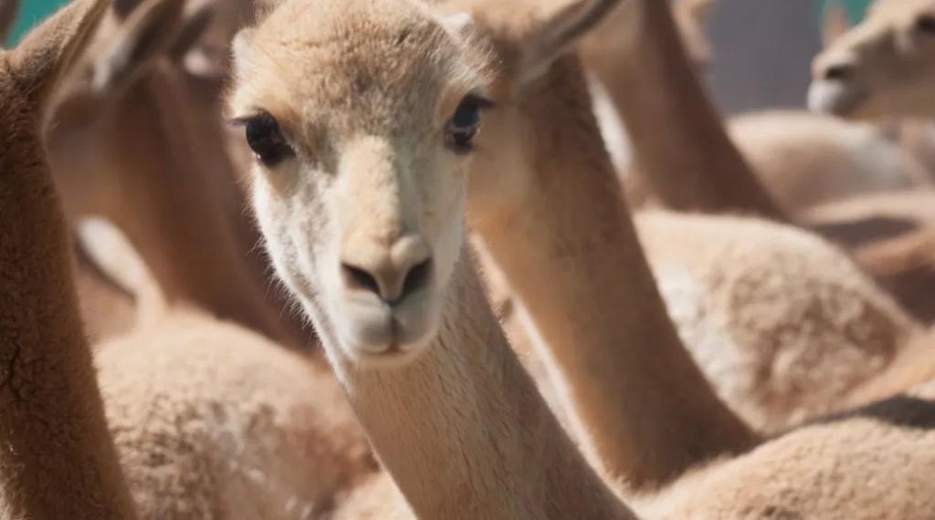 Catamarca, única provincia argentina en esquilar Vicuñas silvestres en la pandemia