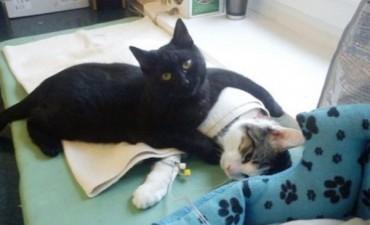 Un gato hace de enfermero de otros animales recién operados