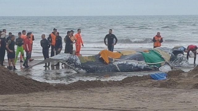 Murió la ballena encallada en mardel