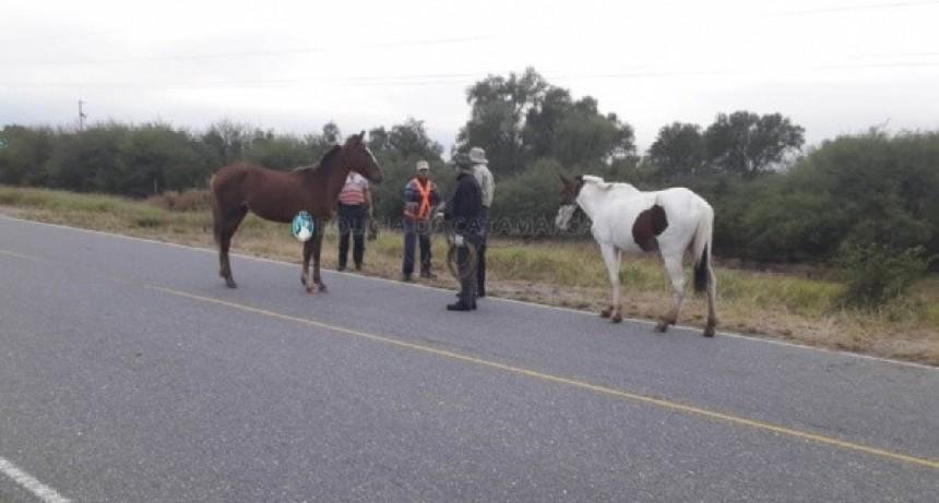 Importantes operativos de captura de animales sueltos en La Paz y Valle Viejo