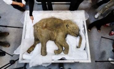 A un paso de Jurassic Park? Científicos rusos encuentran 'sangre' en el mamut lanudo