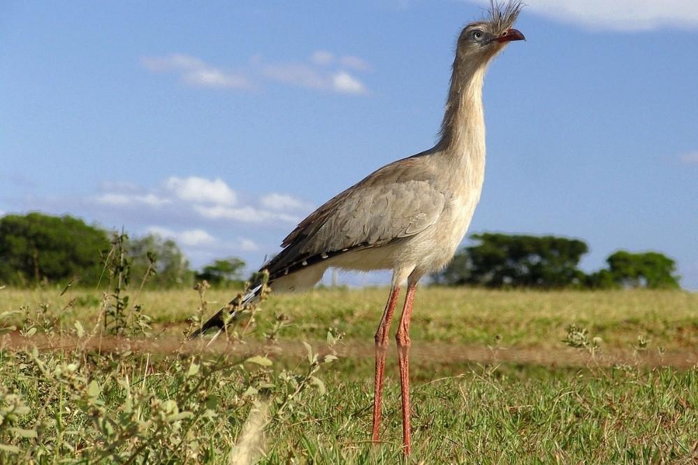 Liberaron ejemplares de Chuñas de patas rojas para reintroducirlas en Iberá