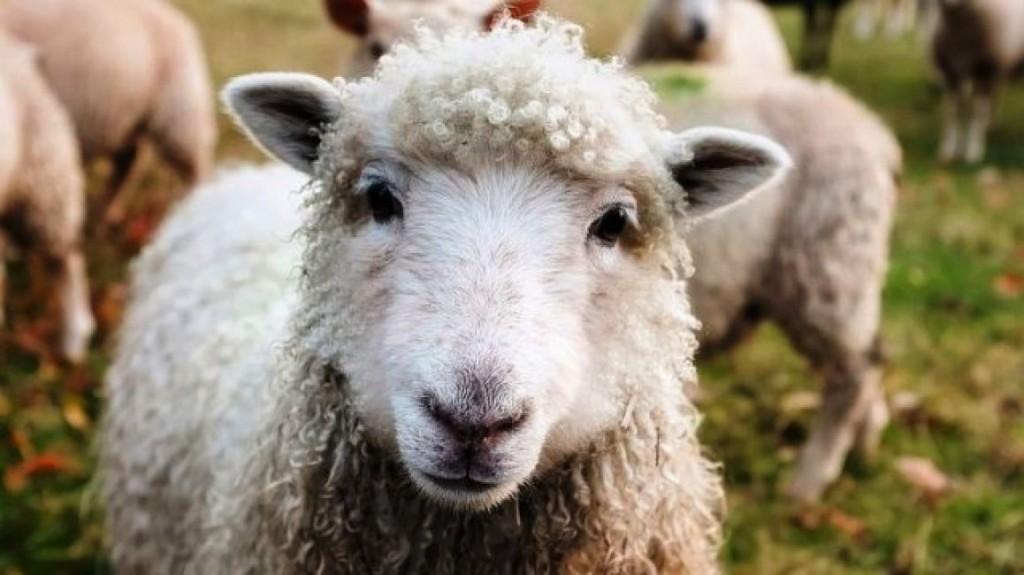 Inscribieron a ovejas en una escuela rural para evitar el cierre de una clase