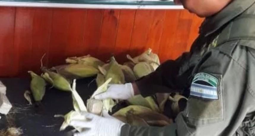 Mari-Choclos: secuestran 3 docenas de choclos con marihuana