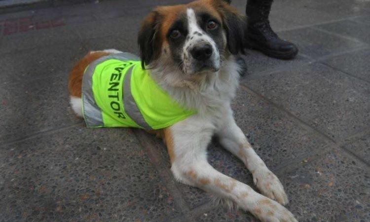 La emotiva historia de FIRULAIS , el perro callejero que se volvió agente de tránsito