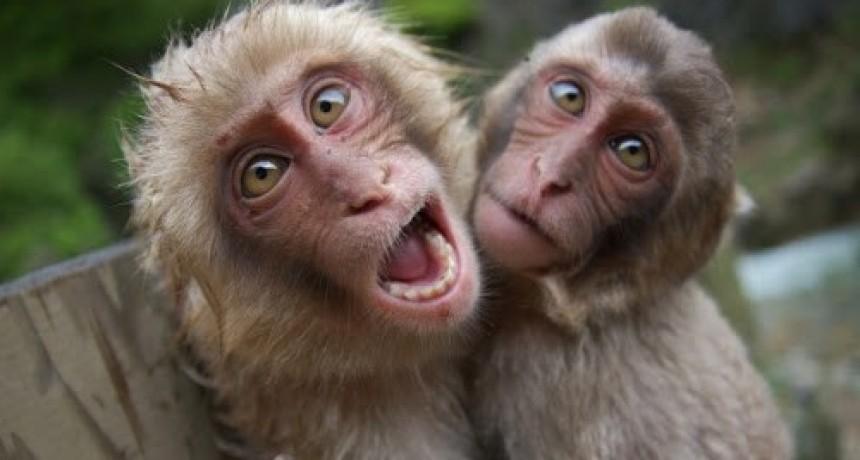 Un grupo de monos se posicionó en perfecto distanciamiento social y estallaron la redes