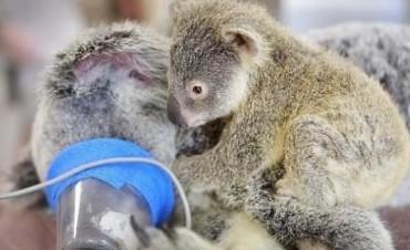 Incondicional: Bebé koala Abraza a su Mamá mientras la Operan