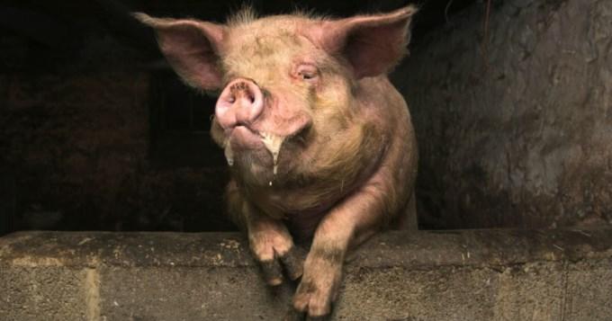 Cerdo le comió el pene a borracho que lo pateó