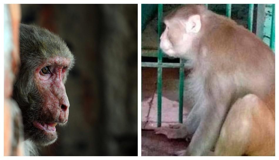 Mono adicto al alcohol pasará el resto de su vida en la jaula de un zoológico por matar a una persona y morder a 250