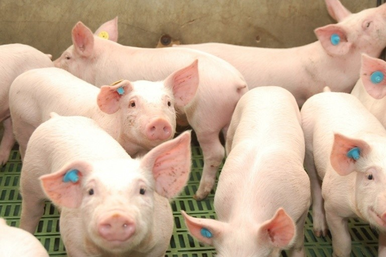 Piden declarar la emergencia económica para el sector porcino