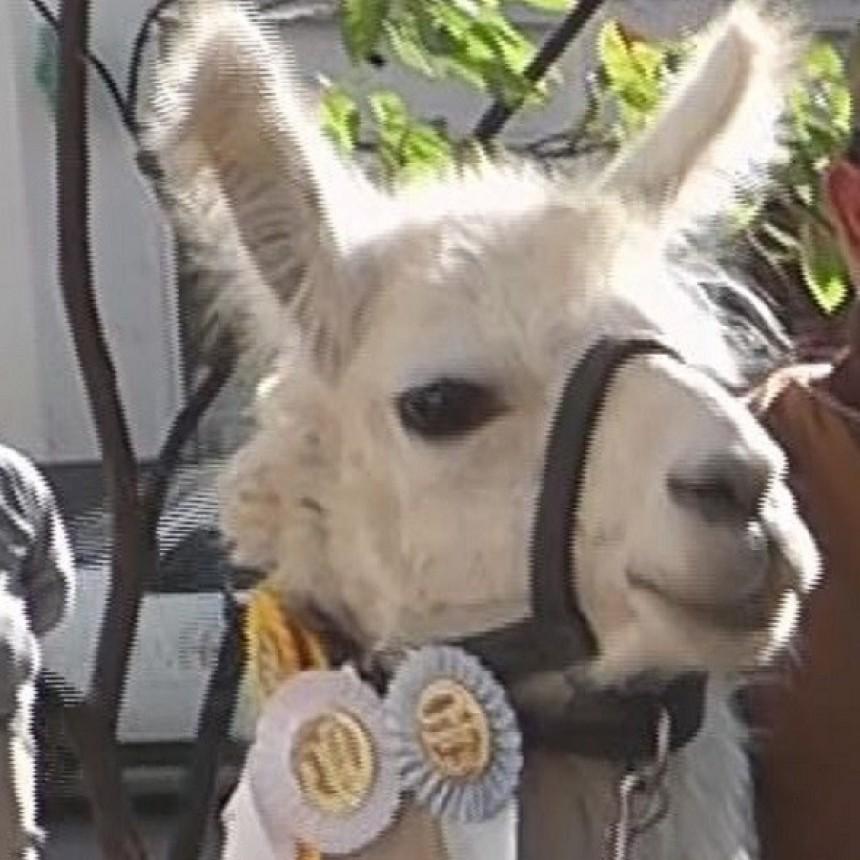 Llamas catamarqueñas fueron otra vez campeonas en la Rural de Palermo