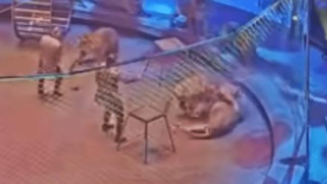 Susto en circo ruso durante feroz pelea entre tigre y león