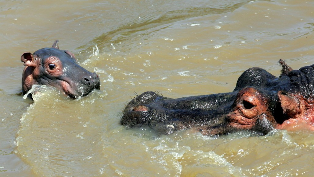 Dos jóvenes hipopótamos ayudan a dos pájaros a pasar frente a un grupo de cocodrilos sin ser vistos