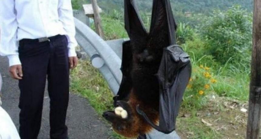Furor por las fotos de Diadema, el murciélago de tamaño humano