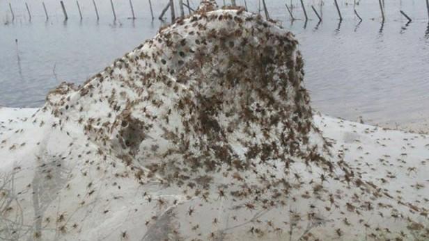 Por las lluvias hubo una invasión de arañas en Lezama