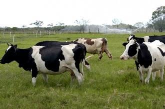 Científicos argentinos lograron eliminar el gen de la vaca loca