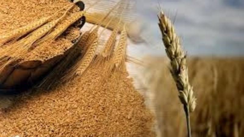Celíacos: secuenciaron el genoma del trigo para hacerlo hipoalergénico