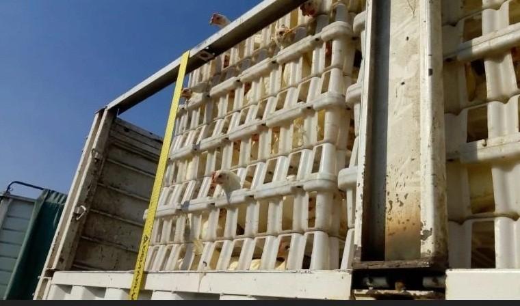 Arribó a Catamarca el cargamento con gallinas para iniciar cuatro polos avícolas