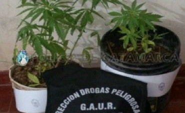 Secuestran plantas de marihuana en Belén