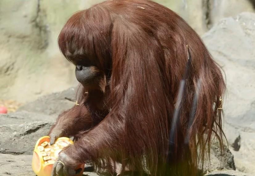 La orangutana Sandra, sera puesta en libertad en un Santuario en Dallas