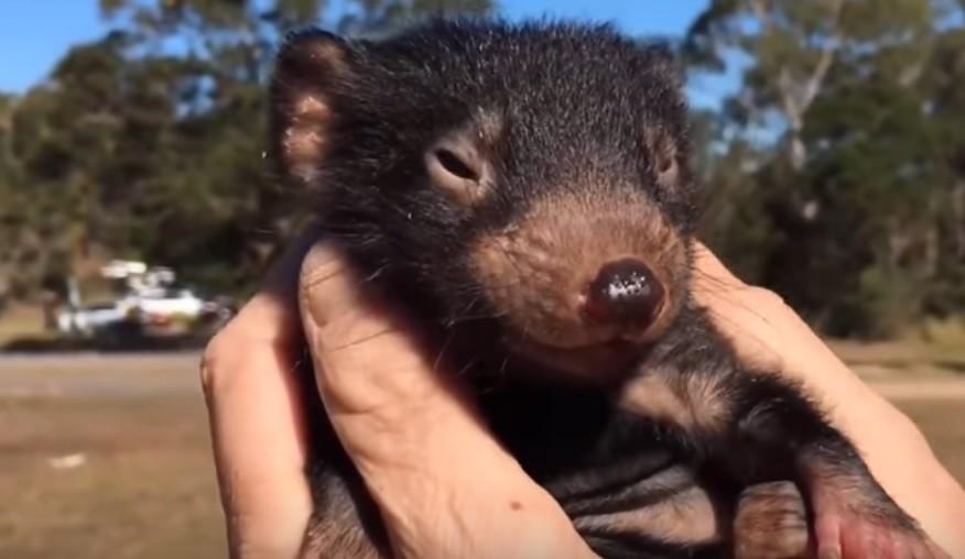 Nacieron ocho demonios de Tasmania y el video es furor