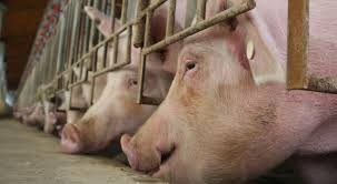 Cerdos XL, la apuesta de granjas chinas contra la peste porcina