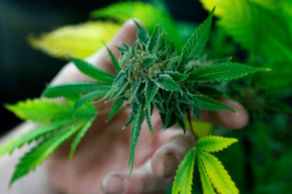 Jujuy proveerá gratuitamente aceite de cannabis a hospitales del país para ensayos clínicos