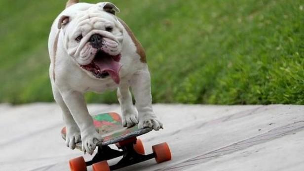Sobre un skate, un Bulldog rompió un récord Guinness