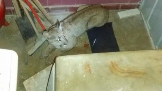 Encontraron un Puma en el lavadero de su casa