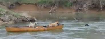 Amigo fiel: Labrador negro rescata a sus amigos atrapados en una canoa