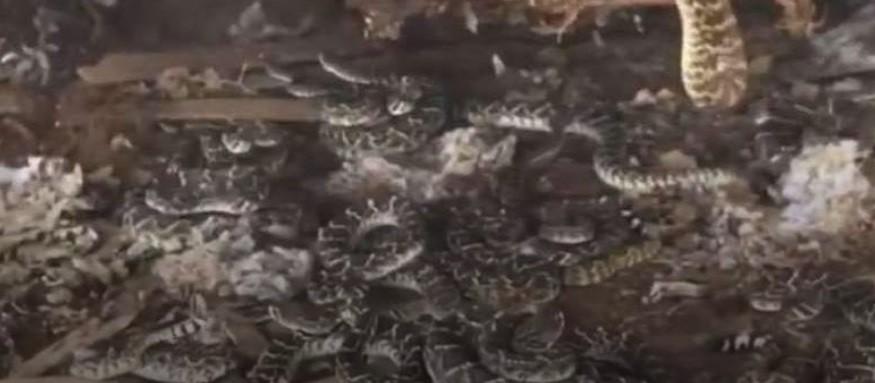Encontró un nido de serpientes cascabel debajo de su cobertizo