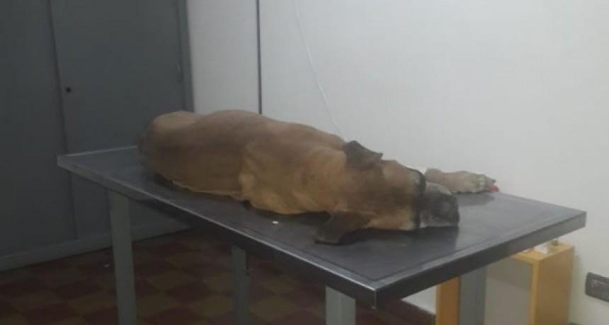 No se respetó la ordenanza municipal, Jerry sufrió un ataque cardiaco y se recupera en una veterinaria